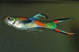 gambar ikan cere jantan