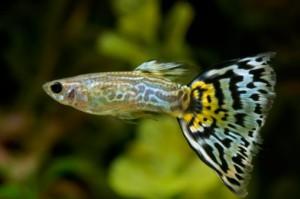 ikan guppy jantan (ikan hias air tawar)