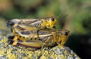 belalang betina berukuran lebih besar