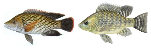 perbedaan ikan mujair dengan ikan nila